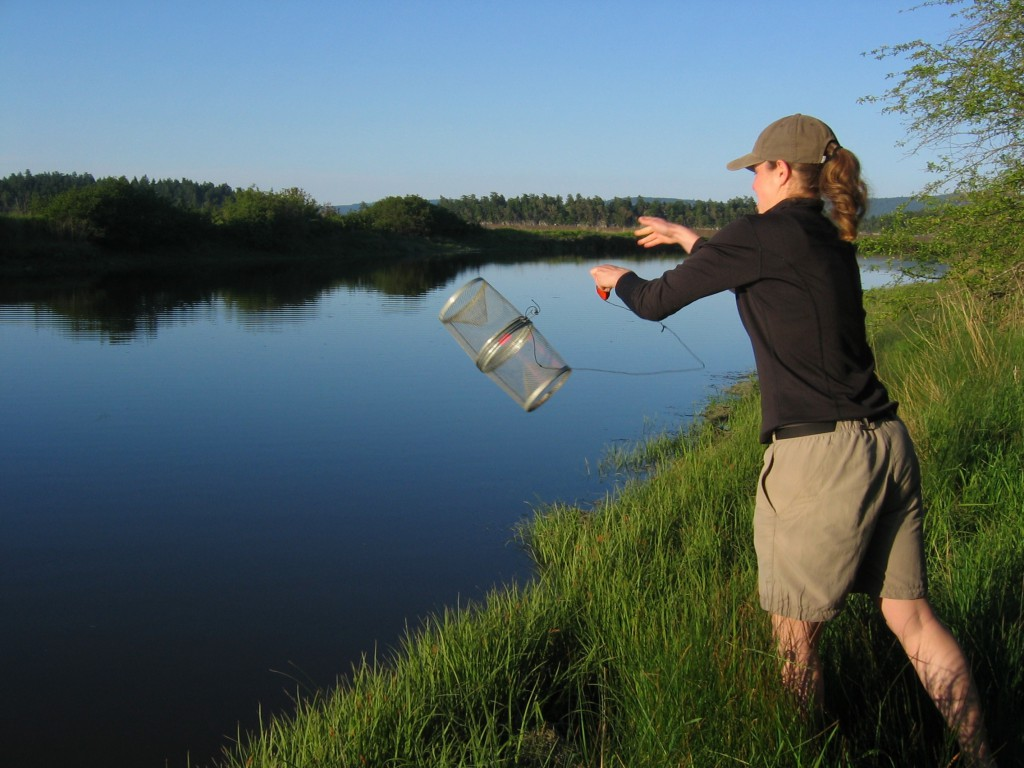 Anne Dalziel places a minnow trap for stickleback collection.