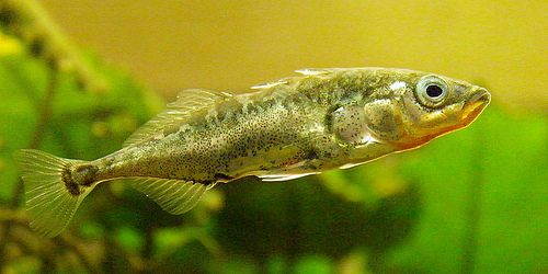 Figure 2: Three spine stickleback. Photo via  wolfpix.