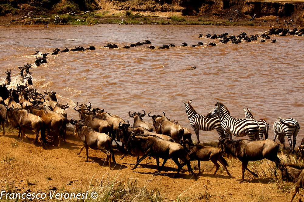 WildebeestMigration