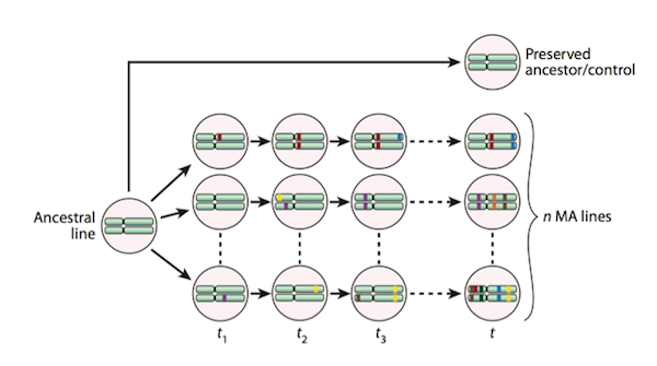 Serial passaging of random single colonies while keeping the effective population size small eliminates the effects of selection, with the exception of the effects of strongly deleterious mutations.  (Taken from Halligan and Keightley 2009 Figure 1.)