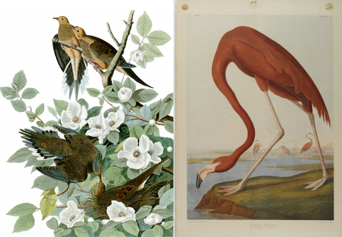 Paintings of mourning doves (left) and a flamingo (right) by John Audubon