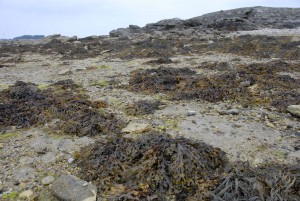 An intertidal site with patches of fucoids, or rockweeds, at low tide in Brittany, France. © SA Krueger-Hadfield, 2010