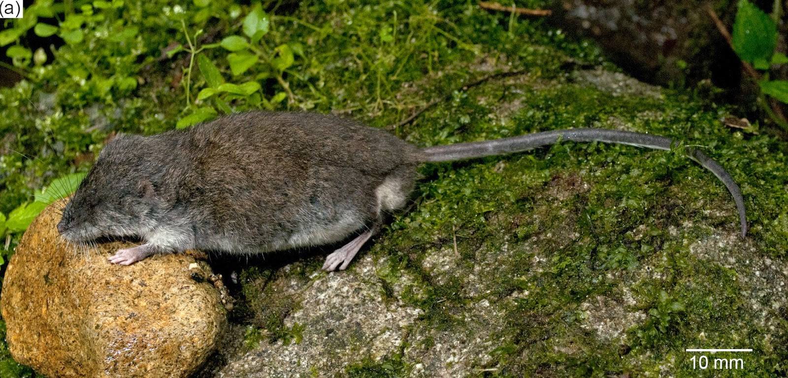 The Sulawesi water rat, Waiomys mamasae. Photo by Kevin Rowe