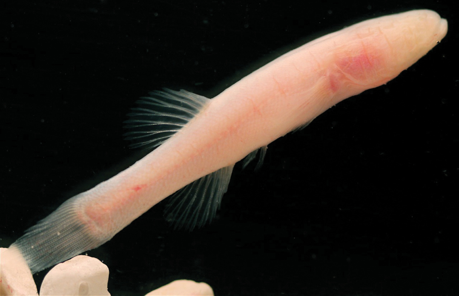 The Hoosier Cavefish Amblyopsis hoosieri. Photo by M.L. Niemiller.