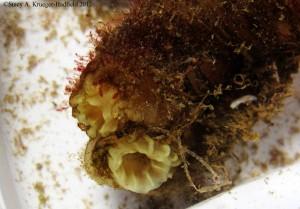 Ciona intestinal is a species complex composed of 4 species. © SA Krueger-Hadfield 2012