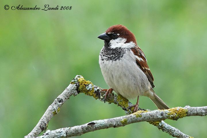 The Italian sparrow