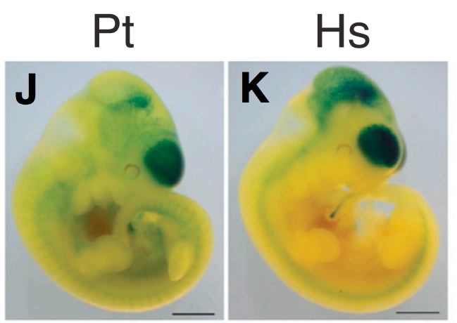 Transgenic mouse embryos reveal that the human version (Hs, right) of HARE5 leads to earlier and larger development (as shown by more widespread and darker blue) of the brain than the chimp version.