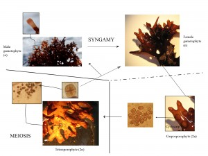 The biphasic life cycle of Chondrus crispus. Photo credit: © SA Krueger-Hadfield, taken from Collèn et al. (2014)