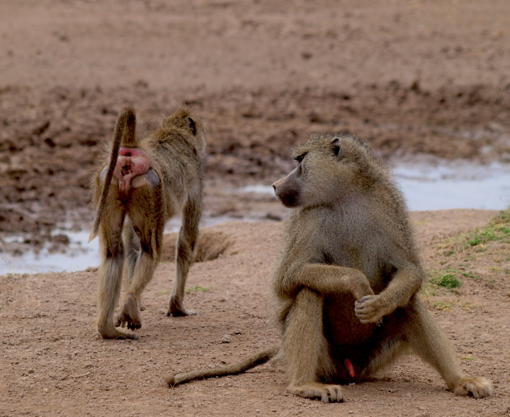 """Oh, hey girl, wanna swap gut microbes?"" - male yellow baboon consorting with a female (photo by Noah Snyder-Mackler)"
