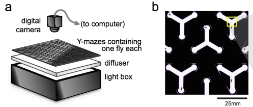 "High-throughput measure of drosophila ""handedness"" ; from Buchanan et al (2014), doi:10.1101/008565;"