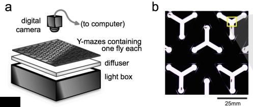 """High-throughput measure of drosophila """"handedness"""" ; from Buchanan et al (2014), doi:10.1101/008565;"""