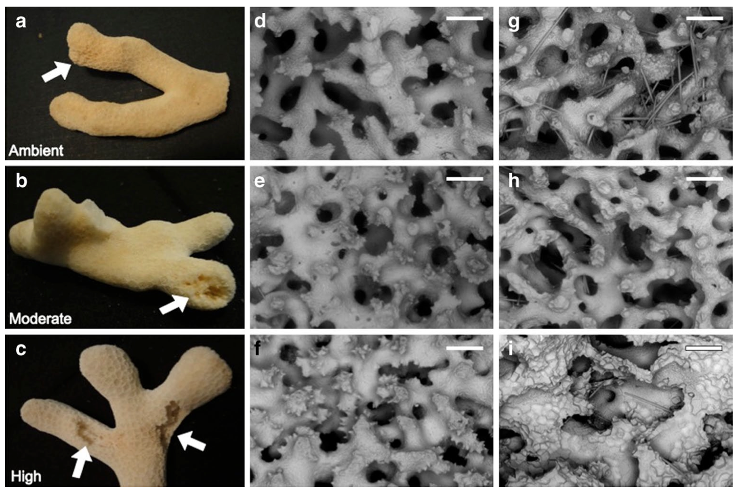 Macro- and SeM images of Porites furcata specimens from ambient, moderate and high pCO2 treatments. a, b, c P. furcata fragment used in subsequent SeM imaging from each of the three pCO2 treatment levels; arrows indicate regions of Cliona varians attachment and erosion. SeM images (d, e, f) are of P. furcata skel- etal regions that were free of C. varians infestation throughout the entirety of the experiment. g, h, i SeM images of C. varians attach- ment sites and sponge erosional scars on P. furcata from each pCO2 level, as previously indicated by arrows in a, b, c (sponge removed for imaging purpose). Scale bars from all SeM images d, e, f, g, h, i) are 250 μm