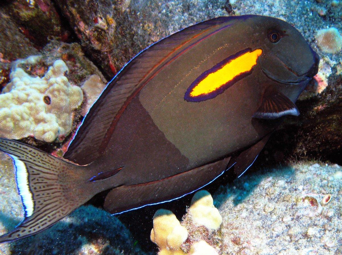 The orangeband surgeonfish, Acanthurus olivaceus. Photo from reefguide.org