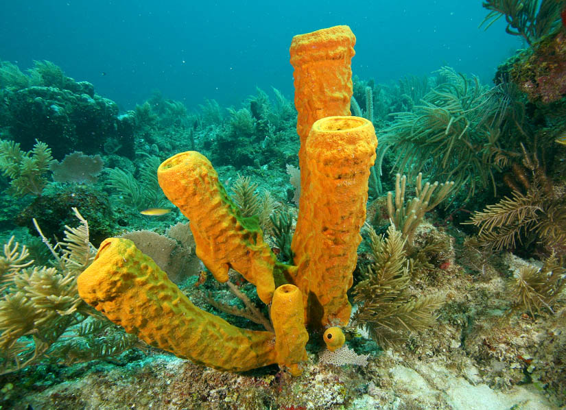 How are poriferans and cnidarians important to many fish dating