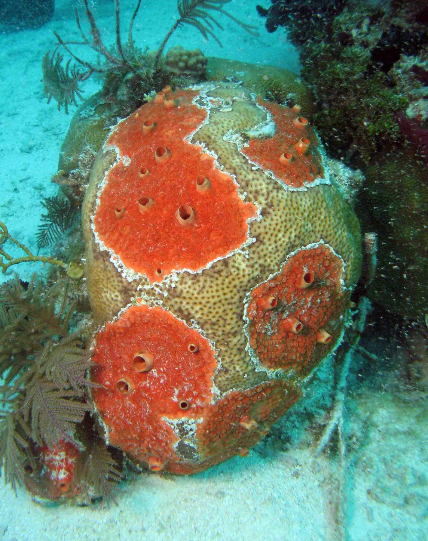 Bright orange Cliona deletrix encrusting a stony coral. Photo courtesy of The Sponge Guide www.spongeguide.org