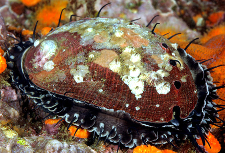 The red abalone, Haliotis rufescens, the focal taxon of De Wit et al. 2014. Photo courtesy of Kevin Lee, asnailodessey.com