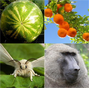 Species with large census sizes (eg. watermelon, silkmoths), versus small census sizes (orange, olive baboon). Image courtesy: http://dx.doi.org/10.1371/journal.pbio.1002113.g001