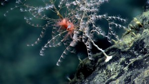 Deep sea octocorals in situ, taken with an ROV between 1000 and 3000 meters depth. Image courtesy of NOAA Okeanos Explorer Program, Our Deepwater Backyard: Exploring Atlantic Canyons and Seamounts 2014