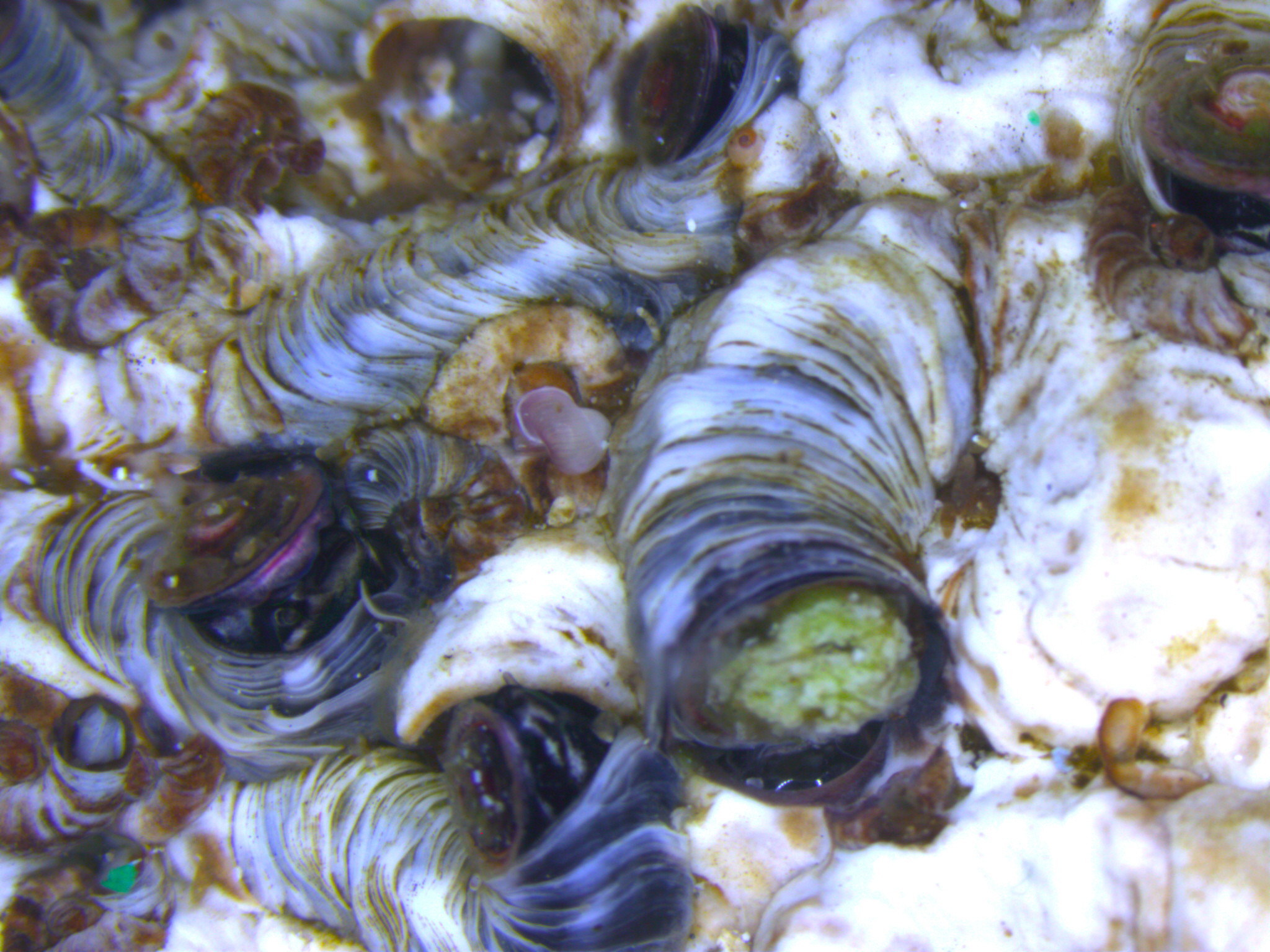 Dendropoma and its its associated calcareous algae Neogoniolithon brassica-florida. Photo from the Mediterranean Sea climate and environmental change blog