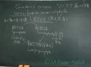 Learning the complexities of red algal life cycles in Japanese. Thanks Endo-San!