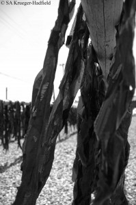 D7000s_2697_kelp drying