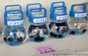 Marimo for sale with plastic Cliona!