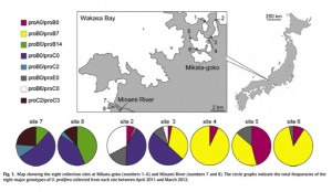 Eight collection sites in Mikata-goko and the Minami River and the respective genetic composition in Ulva prolifera (Ogawa et al. 2014 Aquatic Botany 120: 185-192).