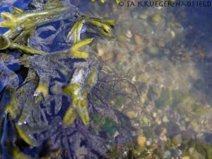 G16s_5651_seaweed