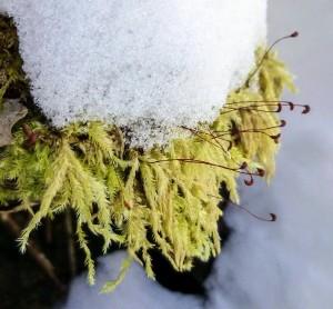 Homalothecium lutescens © nhgardenssolutions.wordpress.com