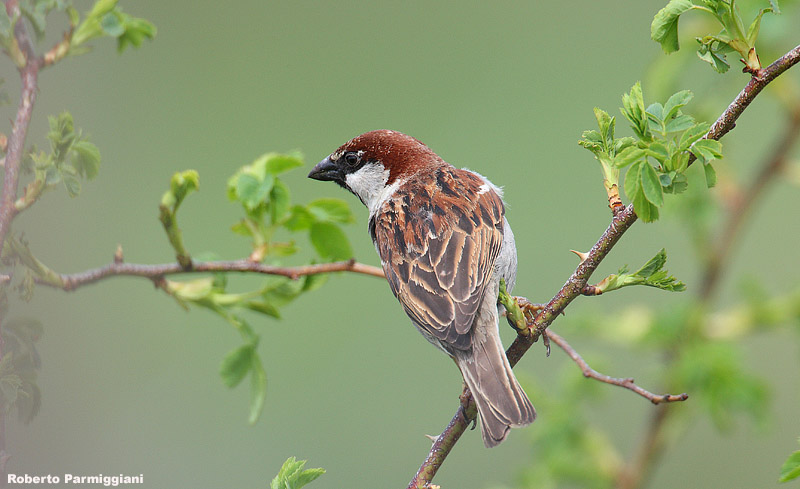 The Italian sparrow, Passer italiae Photo by