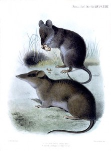 Celænomys silaceus (Syn. Chrotomys silaceus) and Rhynchomys soricoides. (WikiMedia Commons: Joseph Smit)
