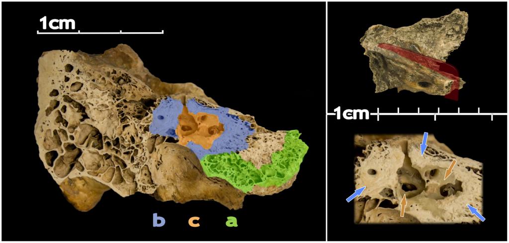 Location of the three compared parts of the petrous bone. Pinhasi et al. 2015, PLOS ONE
