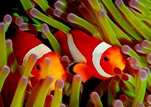 Image courtsey of the Wikipedia article on coral reef fish, aka Nemo and the sea anemone
