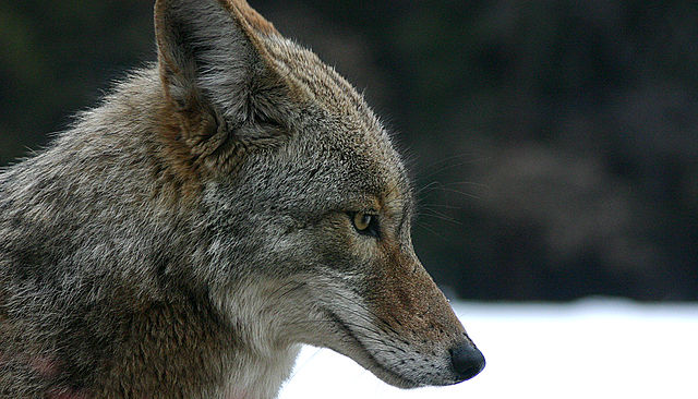 Coyote (Canis latrans). Source: Wikimedia Commons/Christopher Bruno, http://www.sxc.hu
