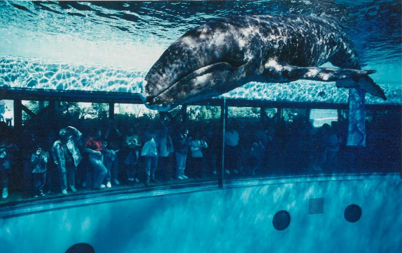 JJ the gray whale in her tank at SeaWorld in San Diego in the late 90's.