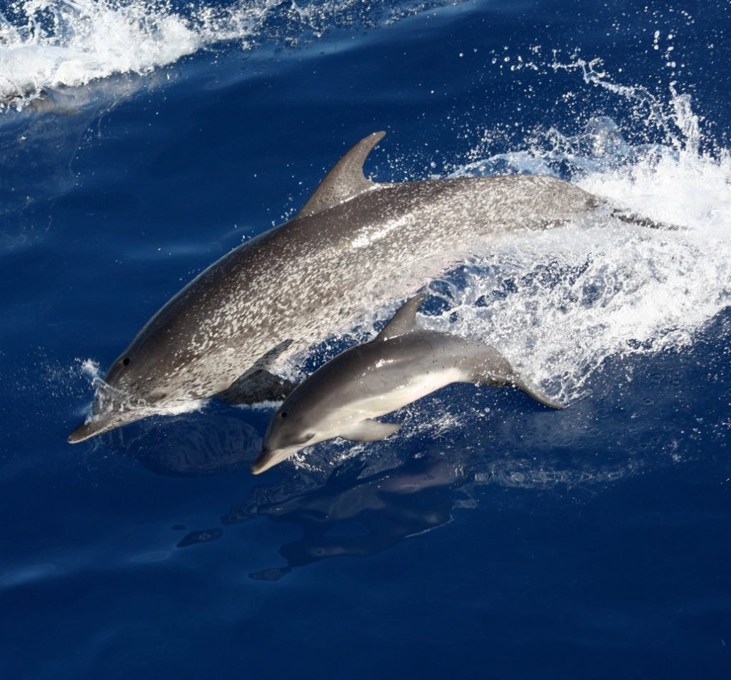 A mother-calf pair of Atlantic spotted dolphins (Stenella frontalis) photographed in the Gulf of Mexico. Heavy spotting is characteristic of the morphotype found in continental shelf waters of the western North Atlantic as opposed to the oceanic morphotype inhabiting deep oceanic waters of the Atlantic. The calf lacks spots as they appear later in age. Photo credit: NOAA SEFSC, MMPA Permit No. 779-1633.