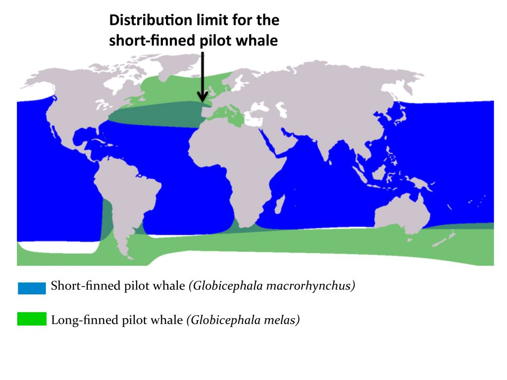 Fig 4. A. Geographic distribution of the two species of pilot whales (Globicephala spp.).