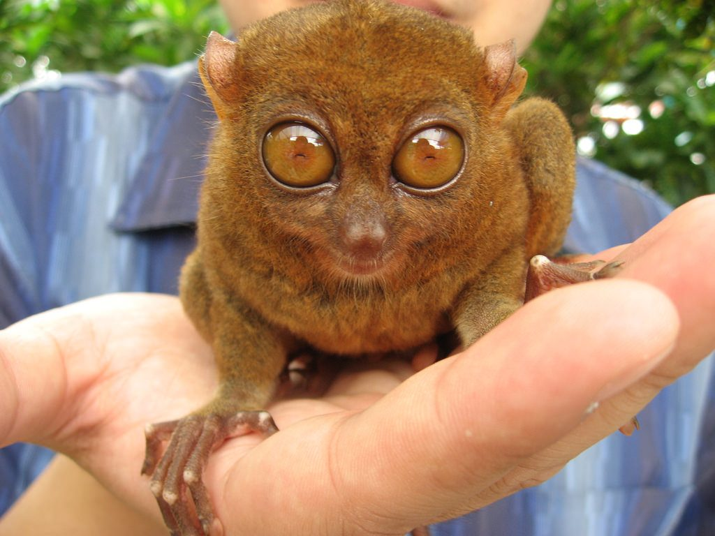 A tarsier, looking as shocked as we are.(Fickr: Keren Tan)