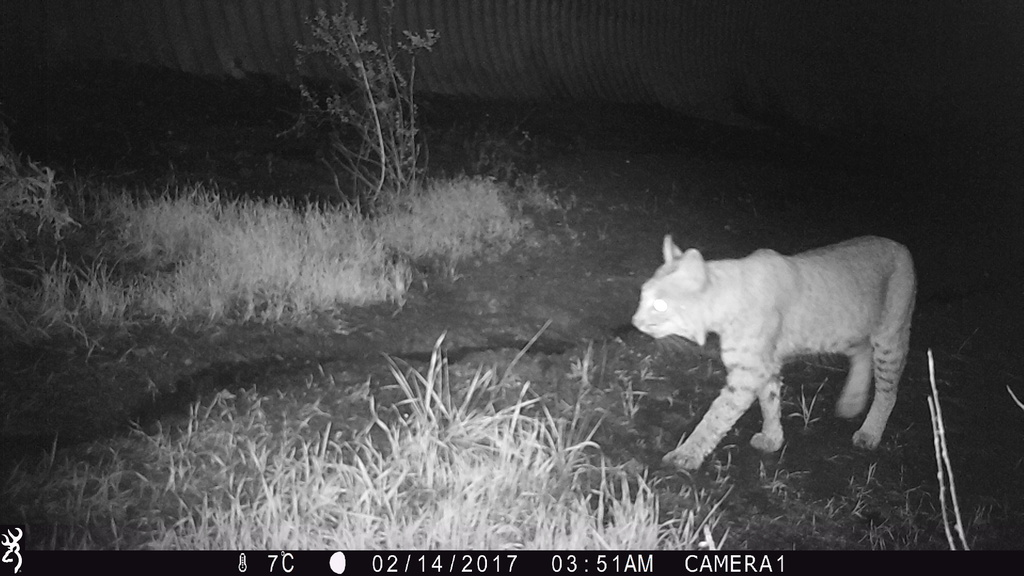 A camera-trapped bobcat near Anaheim, California, where Fountain-Jones et al (2017) examined Feline Immunodeficiency Virus transmission.